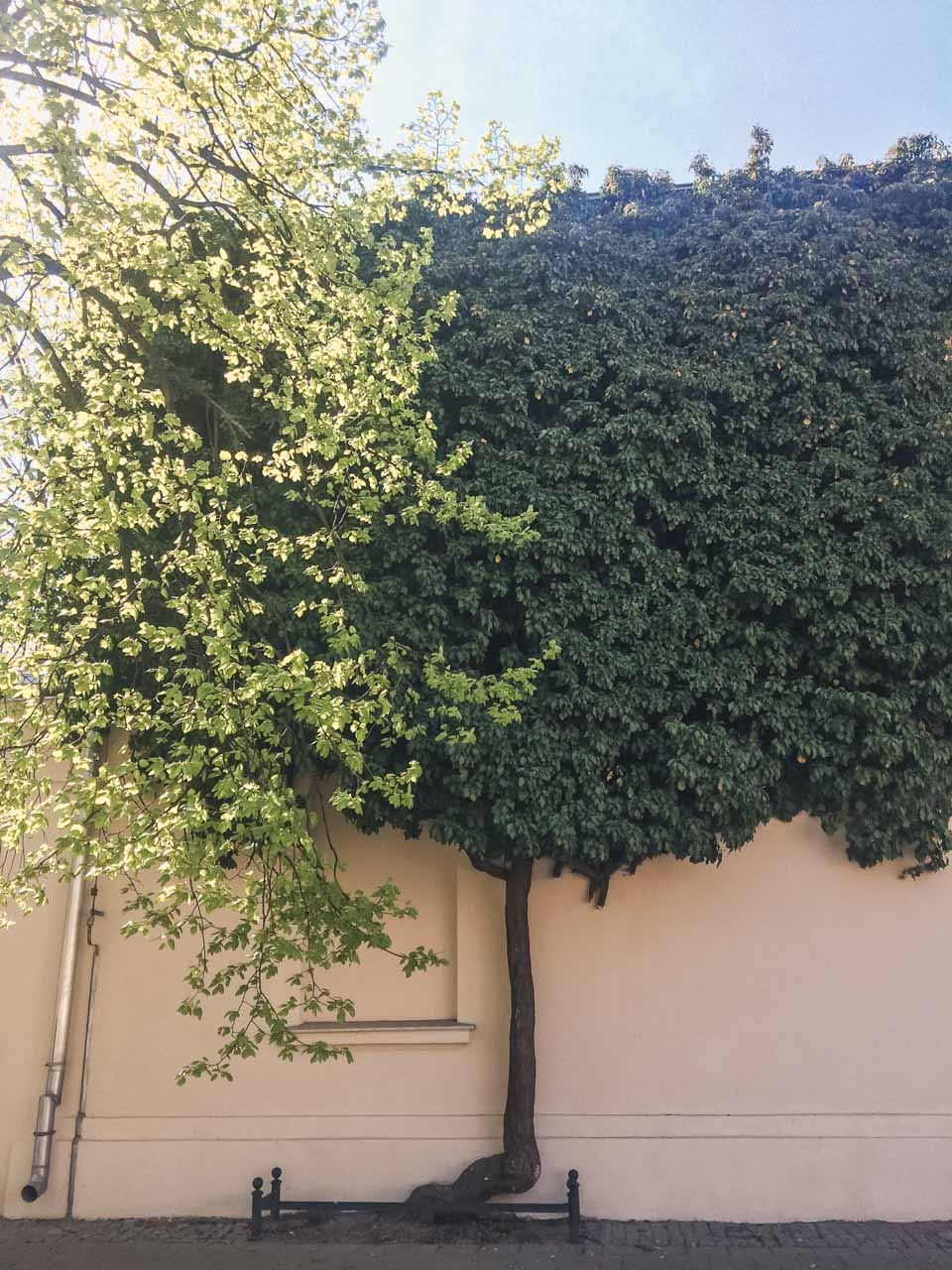 A tree growing against a wall