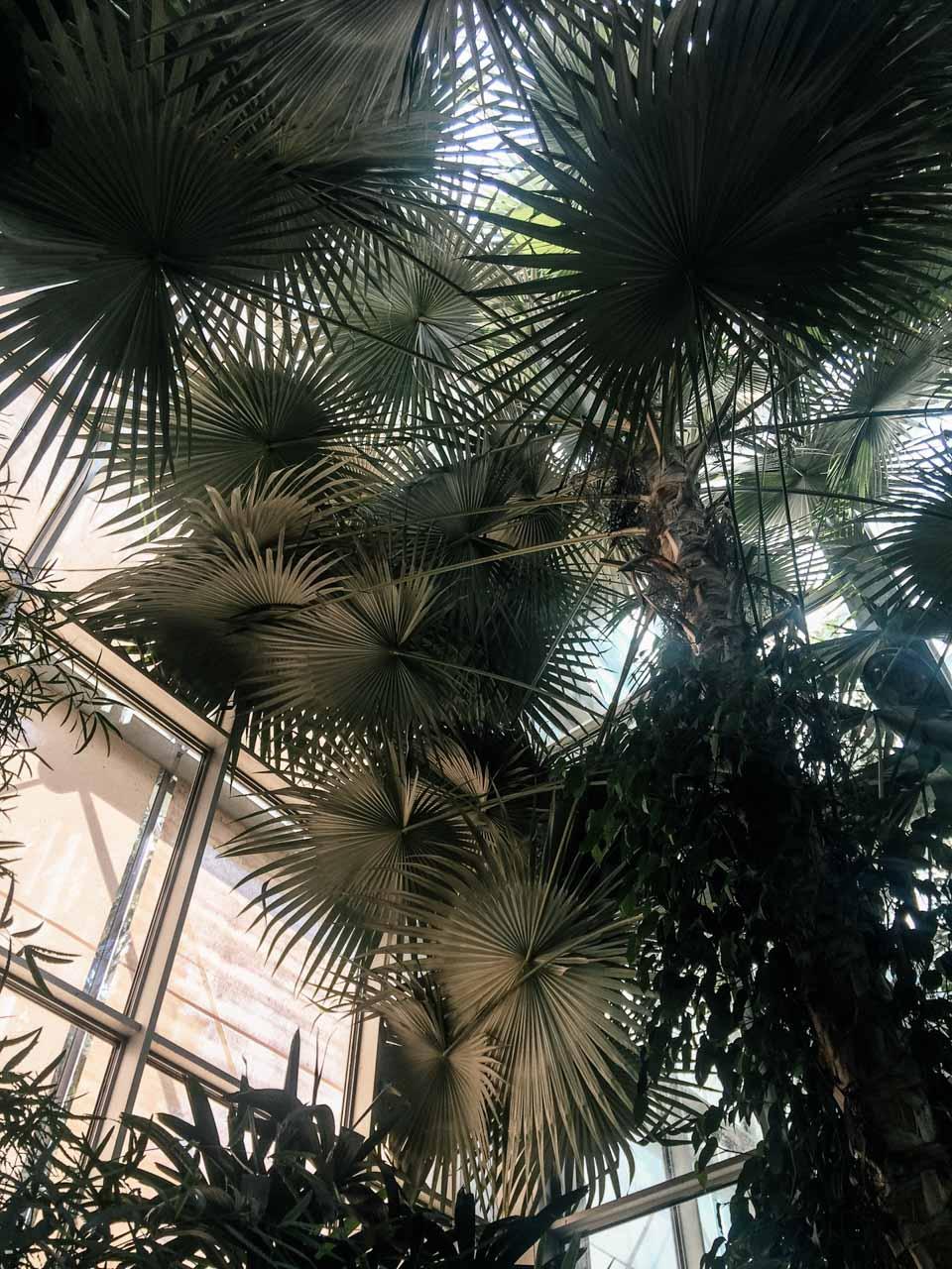A palm tree in the palm house in Łódź, Poland
